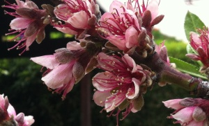 Peach Tree blossoms.  Photo by Shakti